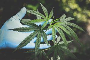 Medical Marijuana Indica, Sativa, and Hybrids